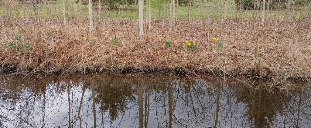 Robert Wielt's Daffodils